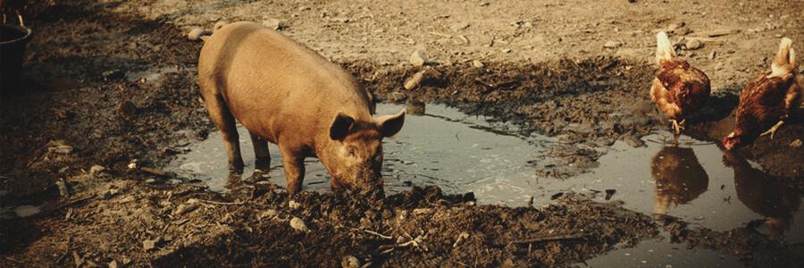 Compost organique de porc