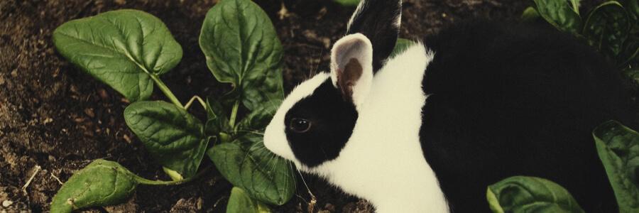 Compost organique de lapin