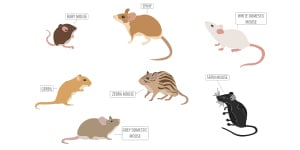 Rats and mice rodents
