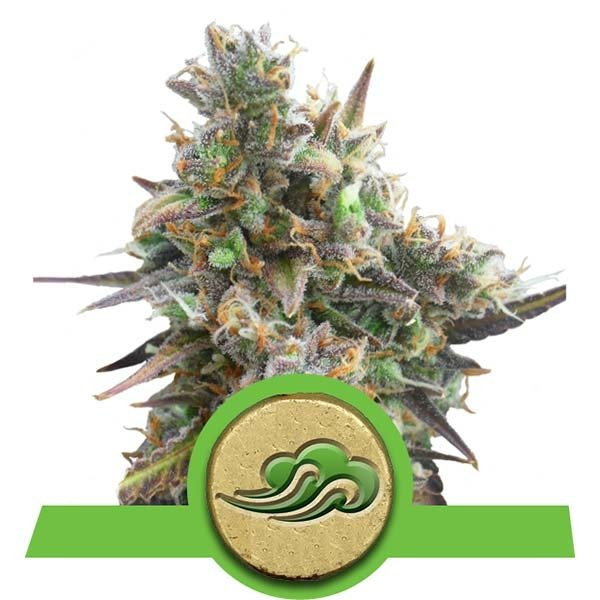 Royal Bluematic Auto Royal Queen Seeds Autofloraison Variété