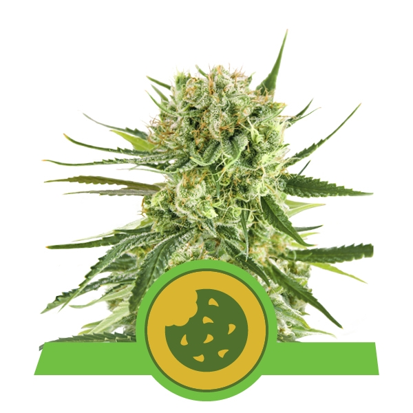 Royal Cookies Automatic Royal Queen Seeds