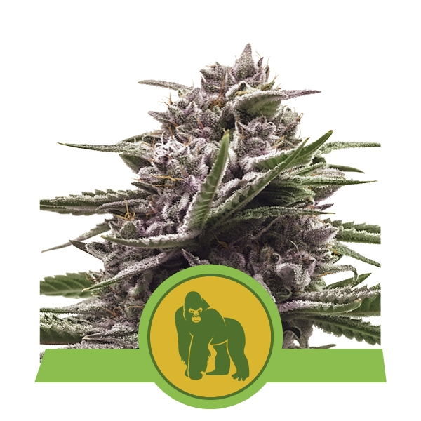 Royal Gorilla Automatic Royal Queen Seeds