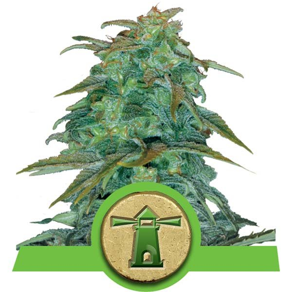 Royal Haze Auto Royal Queen Seeds Autofloraison Variété