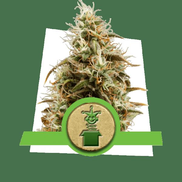 Jack Herer Sativa variété auto-florissante épicé