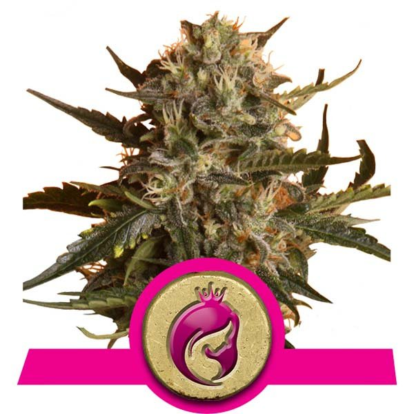 Royal Madre Royal Queen Seeds