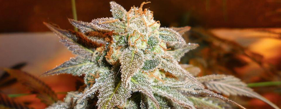 Royal Moby Cannabis Pour Climats Chauds