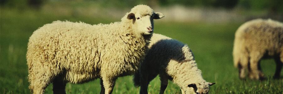 Compost organique de moutons