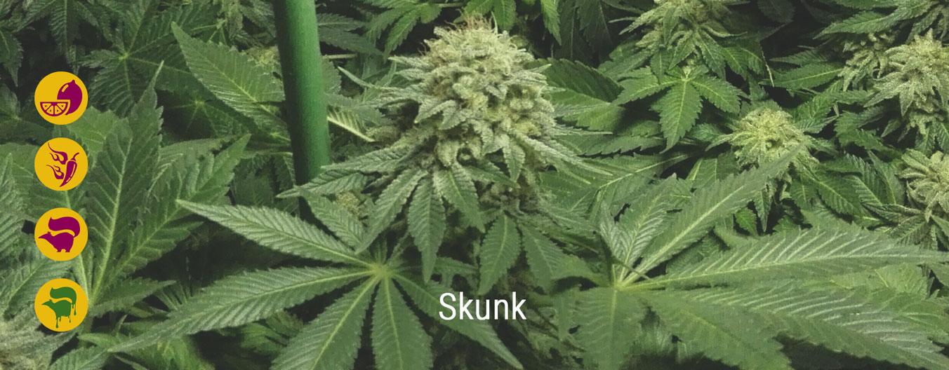 Les meilleures variétés de Skunk