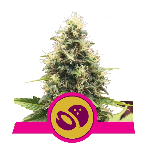 Somango XL Royal Queen Seeds