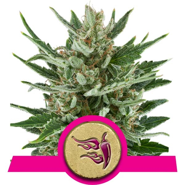 Speedy Chile Royal Queen Seeds