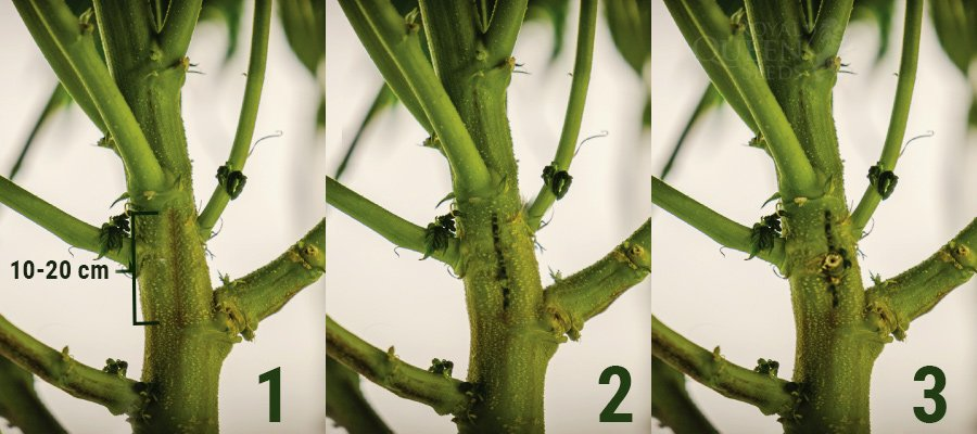 HOW TO SPLIT THE STEMS OF YOUR CANNABIS PLANT