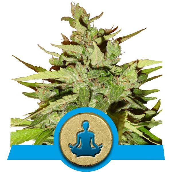 Stress Killer Fast Flowering CBD Royal Queen Seeds