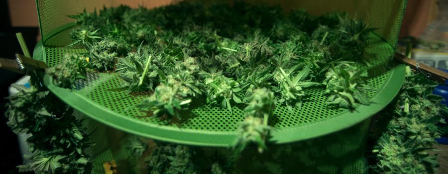 Excès de plante cannabis