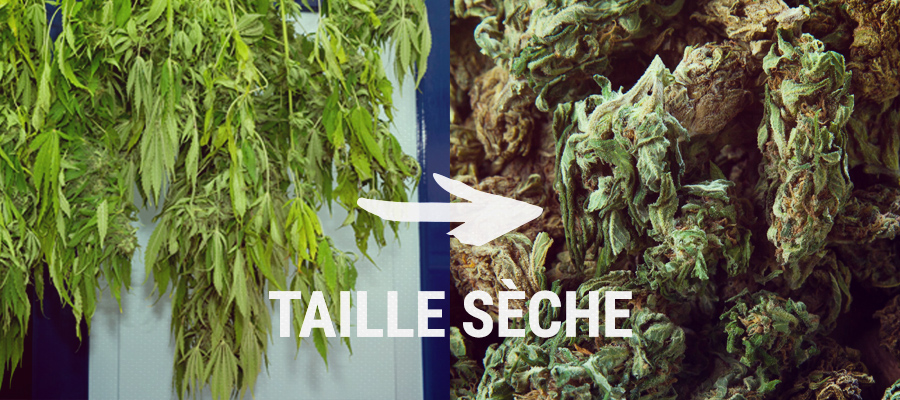 taille seche cannabis