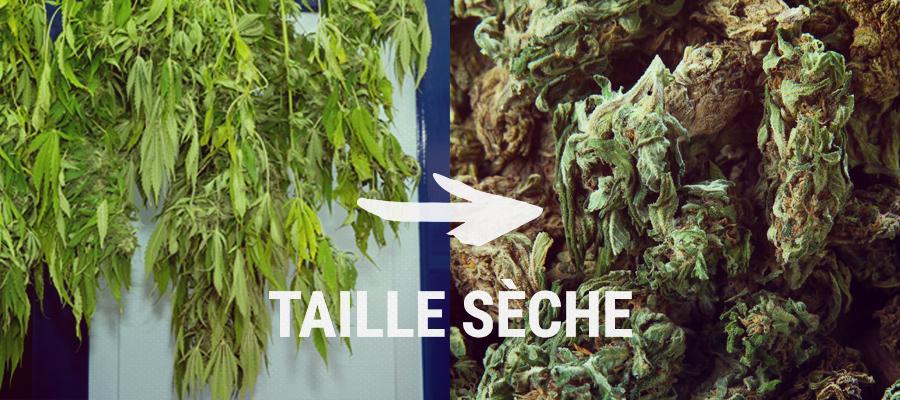taille seche cannabis