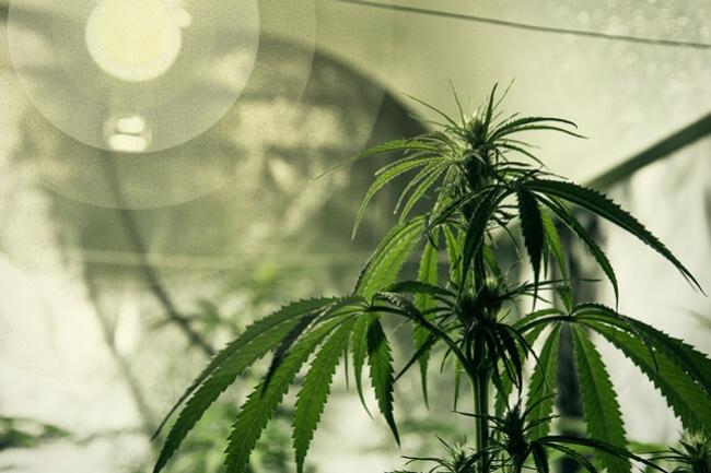 Le Meilleur Eclairage Pour Cultiver Le Cannabis Rqs Blog