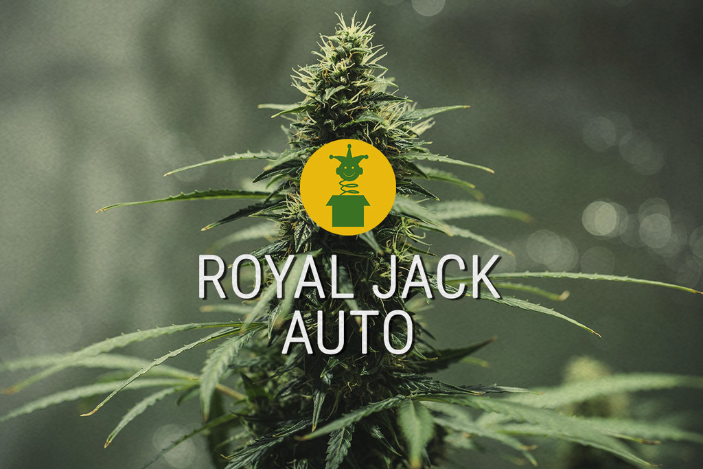 Royal Jack Automatic : la légendaire sativa transformée en auto