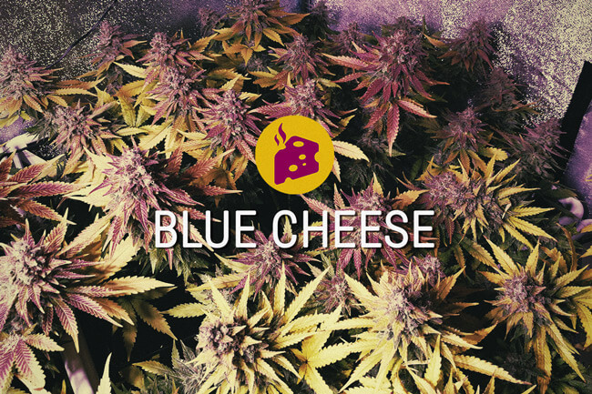 Blue Cheese: le summum du délice cannabique