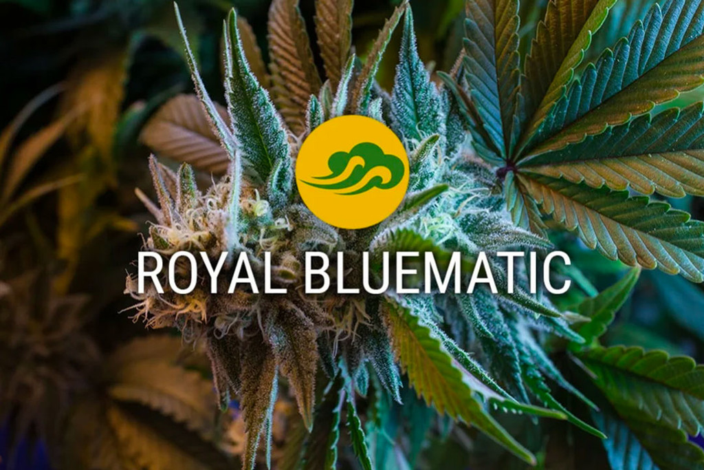 Les graines auto florissantes de Royal Bluematic Cannabis