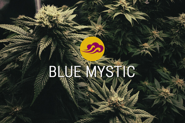Blue Mystic Graines de Cannabis