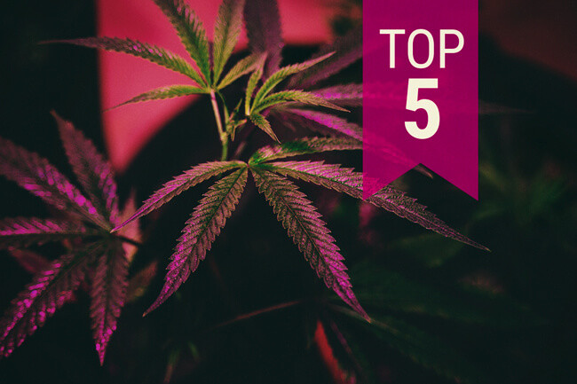 Top 5 des vari t s de cannabis pour la culture en for Culture de cannabis en interieur