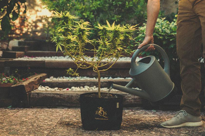 Comment et Quand Rincer les Plants de Cannabis - RQS Blog