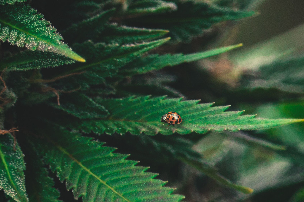 Cannabis 101: Ladybugs as a Natural Solution for ...