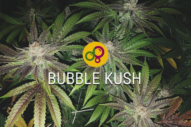 bubble kush notre version de bubba kush